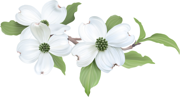 3 white dogwood flowers on a leafy branch