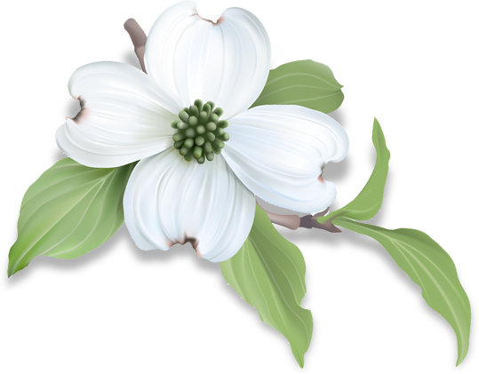 Single white dogwood flower with green leaves poking out form behind,